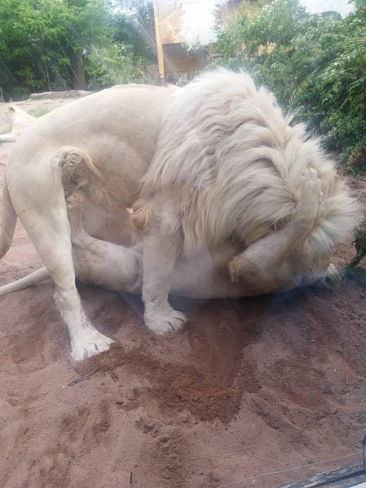 lion-amneville-2