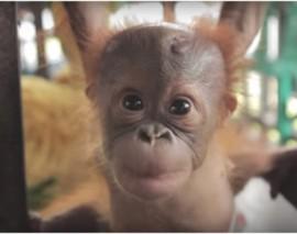 Naissance rarissime d'un bébé orang-outan au zoo d'Amnéville