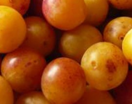 La cueillette des mirabelles de Lorraine commence aujourd'hui : fruitées et juteuses!