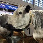 Doliprane, la vache de race Vosgienne, sacrée Grande Championne au Salon de l'Agriculture !