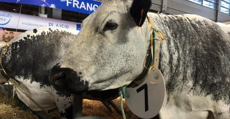 Doliprane la vache de race vosgienne sacr e grande for Vache salon de l agriculture