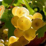 Trois vins alsaciens élus meilleurs vins blancs du monde
