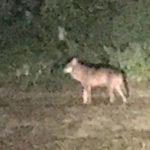 Le loup est de retour chez nos voisins Luxembourgeois