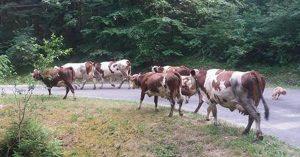 agriculteur-gendarmes-vaches