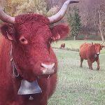 Des voisins portent plainte contre les cloches des vaches