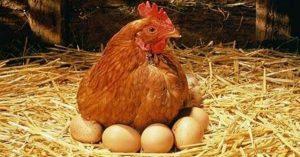 poule-pondeuse-Poulehouse