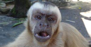 singe-capucin-hayange