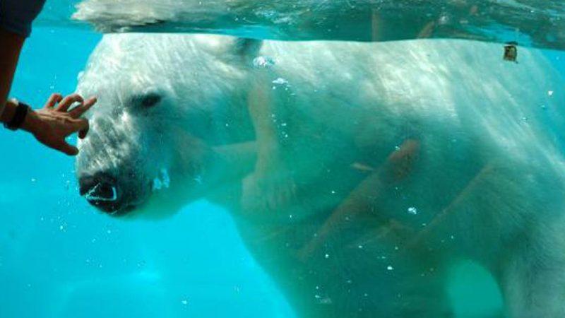 Zoo d'Amnéville: l'ours blanc Olaf est mort de vieillesse à 31 ans