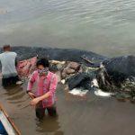 6 kg de plastique trouvé dans le ventre d'un cachalot mort