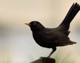 Le Conseil d'État valide la chasse des oiseaux à la glu