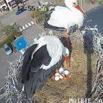 Sarralbe : les cigognes de Lorraine ont pondu un 5ème œuf