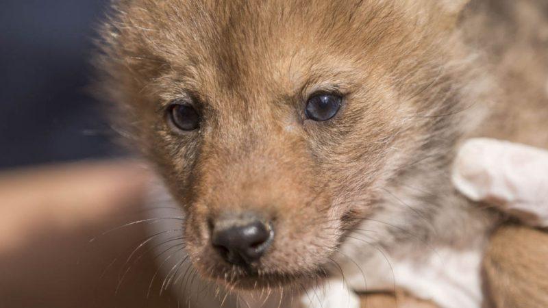Naissance de coyotes à Sainte-Croix : une première en France !
