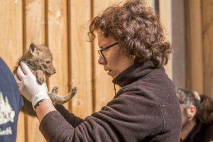 pucage naissances coyotes 16052019 - Parc Animalier de Sainte-Croix (1)