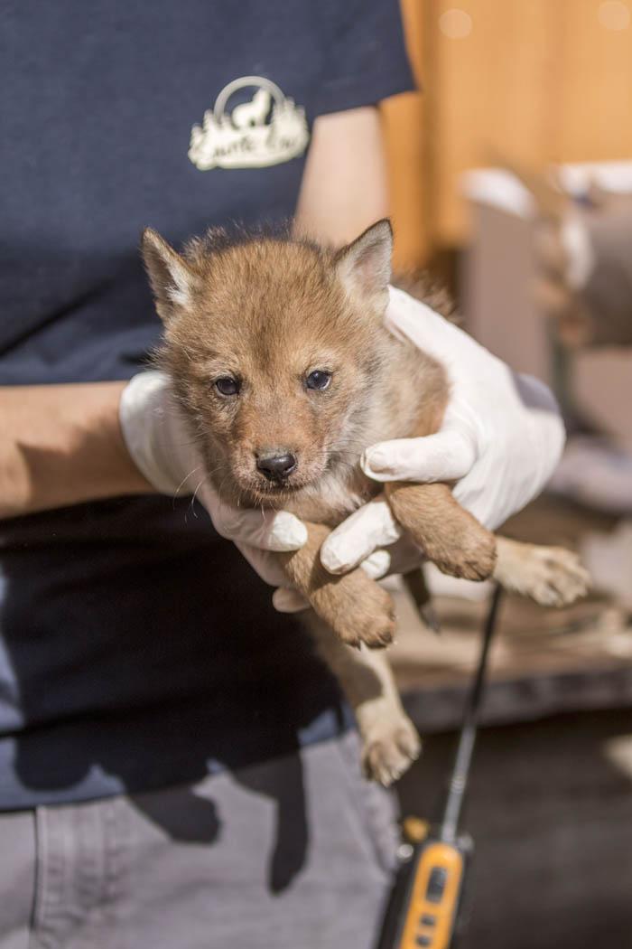 pucage naissances coyotes 16052019 - Parc Animalier de Sainte-Croix (5)