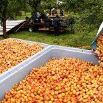 La cueillette des Mirabelles en Lorraine commence officiellement lundi 12 août