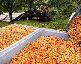 350 postes saisonniers disponibles pour la cueillette des mirabelles cet été
