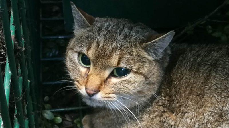 Le « chat-renard », une nouvelle espèce de félin recensée en Corse