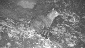 chat-renard-nuit