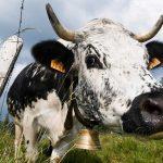 """Un agriculteur condamné à une amende de 6 000 euros car ses vaches sont """"trop bruyantes"""""""