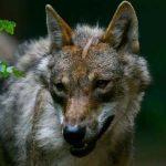 La préfecture de Meurthe-et-Moselle autorise d'abattre le seul loup du département