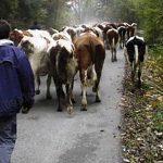 """Les bouses de vaches sur la voirie agacent profondément les """"néoruraux"""" en Belgique"""