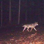 Le loup est de retour en Alsace, plus de deux siècles après son éradication