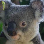 Incendies en Australie : le petit koala, sauvé des flammes, est décédé
