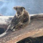 Un demi milliard d'animaux ont perdu la vie dans les incendies en Australie