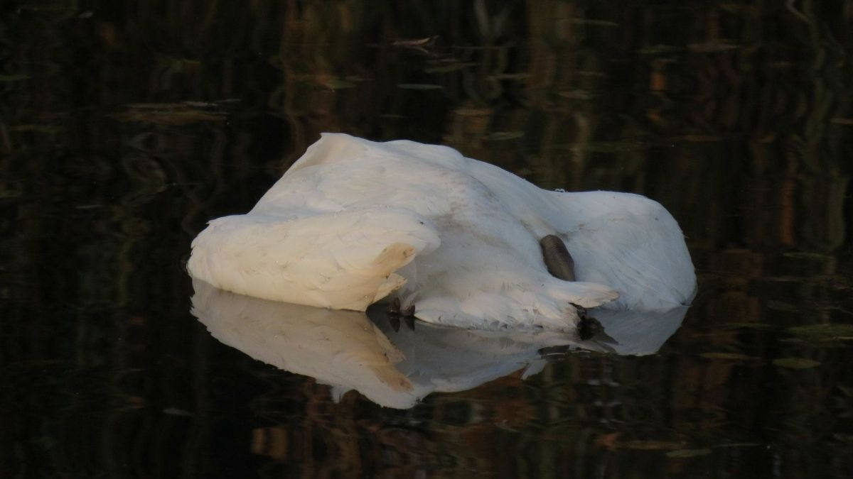 cygnes-morts-alsace-2020