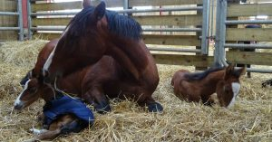 jumelles-chevaux-lorraine