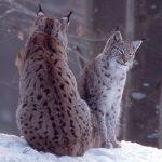 Selon Alsace Nature, un lynx a été abattu dans les Vosges