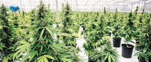 plan-cannabis-lorraine