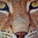 Braconnage dans les Vosges : une marche blanche organisée après la mort d'un lynx