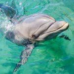 Thionville : L'eau de la Moselle à nouveau translucide, les dauphins reviennent