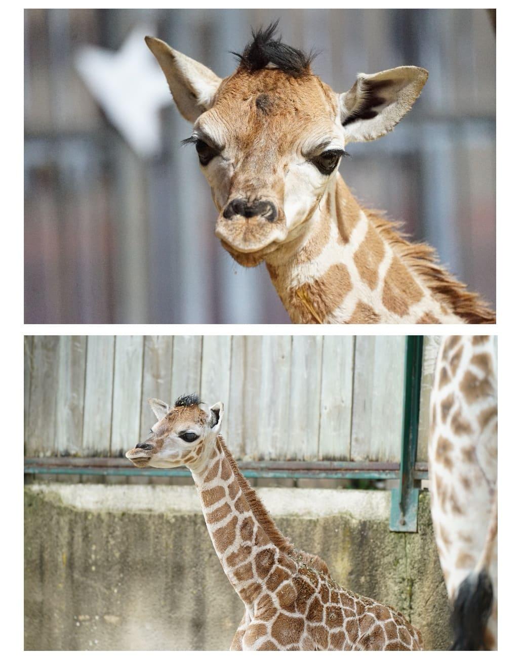 bebe-girafon-zoo-amneville