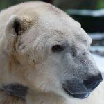 Tromso, l'ours polaire du Zoo d'Amneville, est mort pendant son sommeil