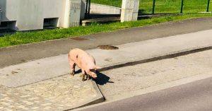 cochon-balade-valmont-moselle-lorraine