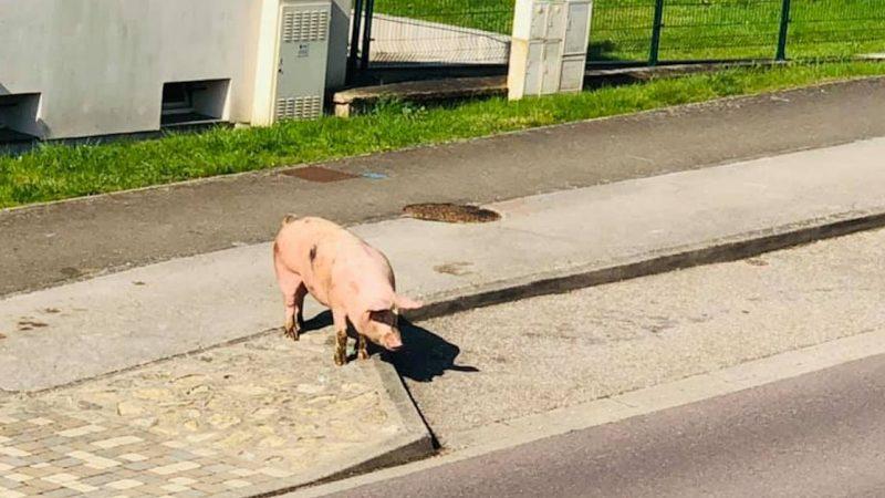 Un cochon saute d'un camion et se balade dans le centre-ville de Valmont