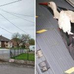 Moselle : 3 cigogneaux sont morts suite aux intempéries