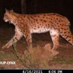 Le lynx, de nouveau présent dans les Vosges