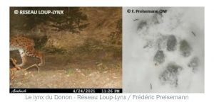 lynx-vosges-trace-neige