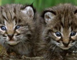 Deux bébés lynx viennent de naître dans les Vosges du Nord