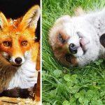 Alsace : elle sauve des renards de l'euthanasie en les accueillant dans son refuge
